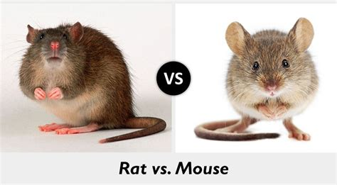 mice vs rats what s the difference