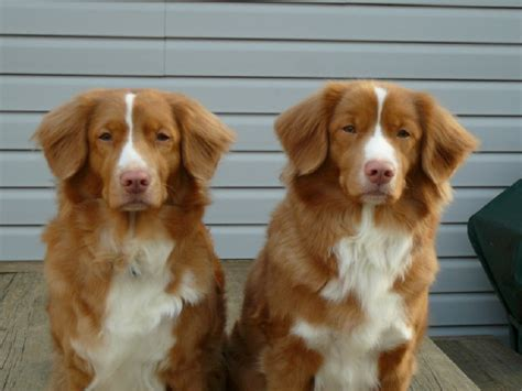 duck tolling retriever puppy caliber tollers