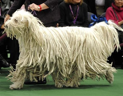 dogs with dreads with dreads www imgkid the image kid has it