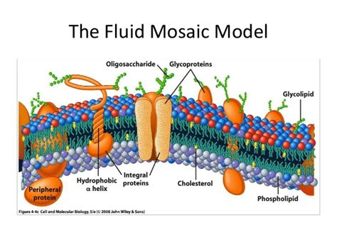 Mozaik Model carbohydrates 3 the fluid mosaic model anime