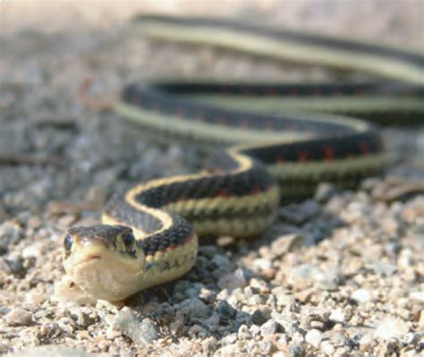 Garden Snake Canada Animal Facts Common Garter Snake Canadian Geographic