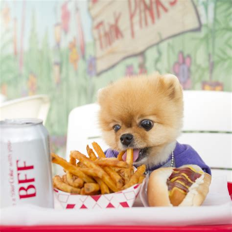 jiff pomeranian jiff the pomeranian sets world record for fastest on two paws buzzfeed news