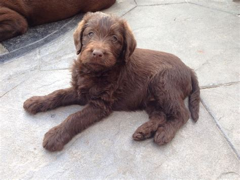 chocolate labradoodle puppies chocolate labradoodles for cake ideas and designs