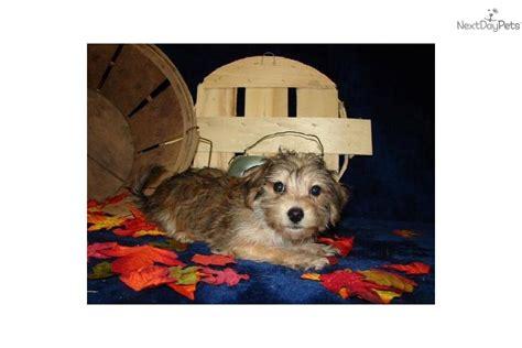 are yorkies born with tails yorkiepoo yorkie poo puppy for sale near joplin missouri c26fbb91 57f1