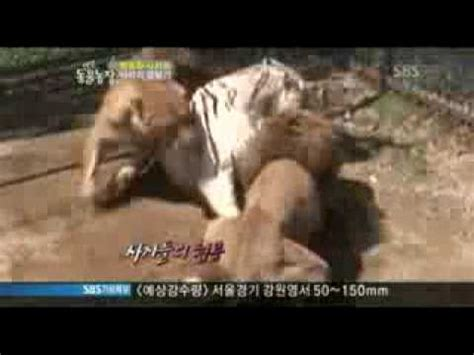 Fight Like A Tiger Win Like A Chion Darmadi Darmawangsa 1 2 lions vs 1 white tiger who wins