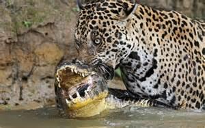 Jaguar Eats Crocodile Save Endangered Species