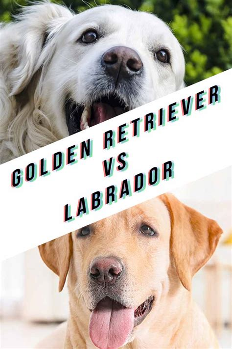 labrador retriever and golden retriever difference golden retriever vs labrador which is the best pet