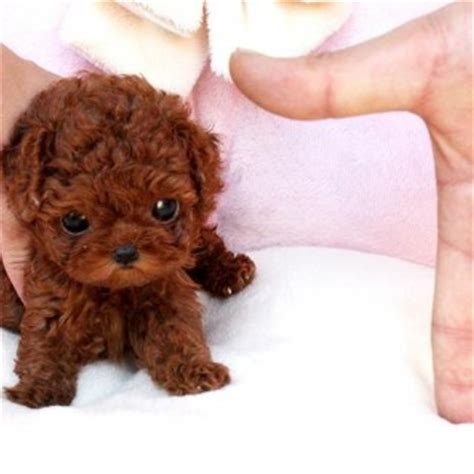 dogs that stay puppies cup dogs that stay tiny small teas cups poodles puppies litle pups