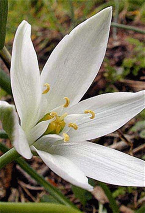 stella di betlemme fiori di bach of bethlehem fiore di bach n 176 29