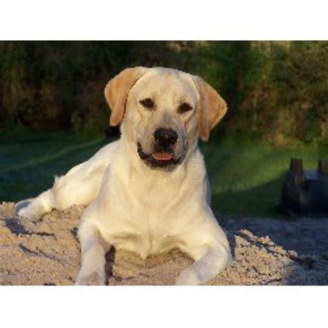 labrador retriever puppies florida labrador retriever lab breeders in florida freedoglistings page 3