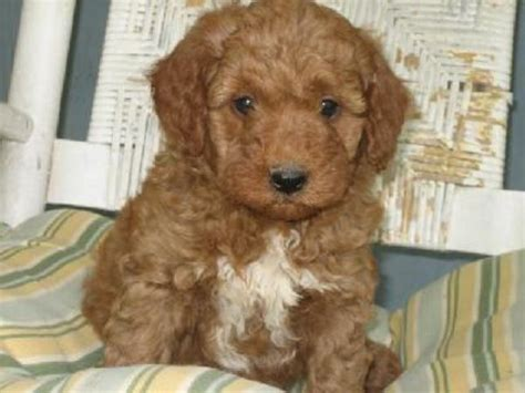 mini goldendoodles orlando teacup goldendoodle puppies www proteckmachinery