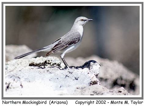 thrasher mockingbird catbird shrike gallery