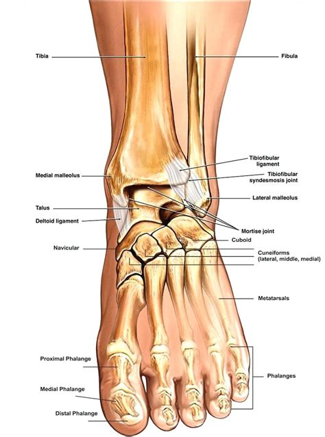 ligaments diagram diagram foot tendons and ligaments diagram