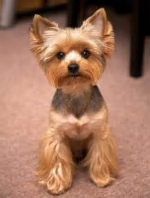 yorkie pics with hair yorkie haircuts yorkshire terrier cuts and hairstyles