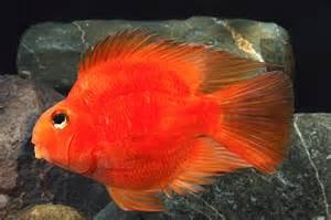 Aquascape Reviews Fish File Blood Parrot Cichlid
