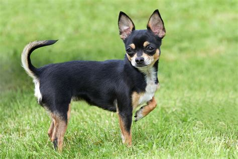 how to a chihuahua to be a therapy chihuahua health problems k9 carts