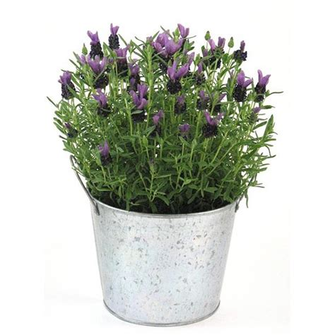 scented potted lavender plant gardenista