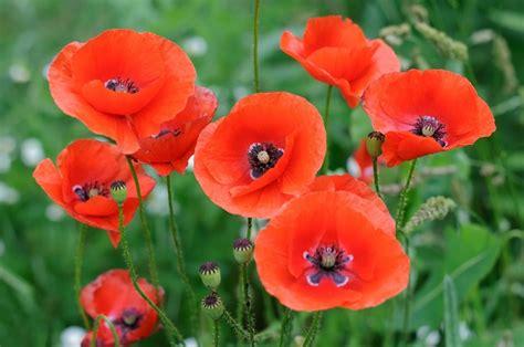 significato fiore papavero coltivazione papavero in vaso pollicegreen