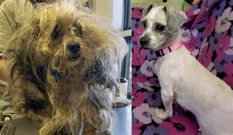 dog hair in wifes panties stories severely matted dog transformed after haircut storytrender