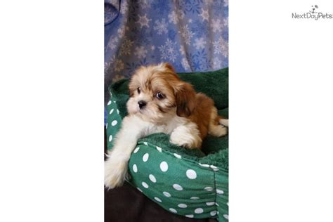 teddy puppies for sale near me shichon a k a teddy pups shichon puppy for sale near new york city new york