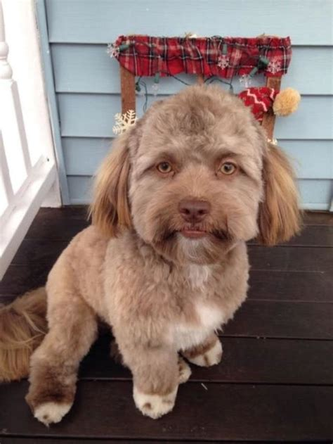 dogs that look like that looks like a human 5 pics