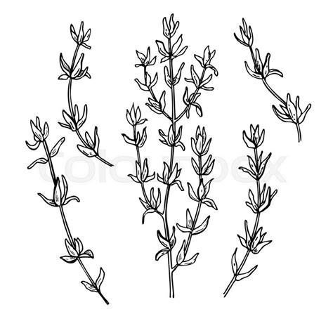 thyme vector drawing set isolated thyme plant and leaves