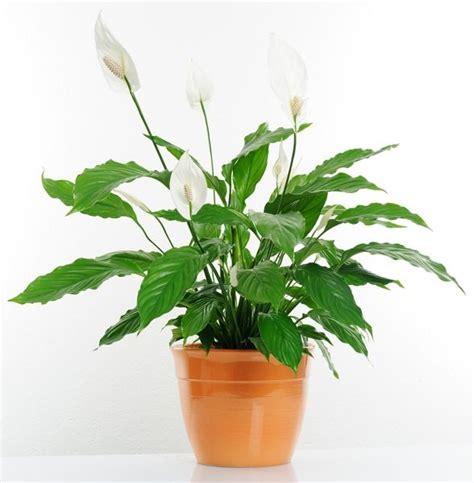 zimmerpflanzen dunkel 109 besten zimmerpflanzen bilder auf