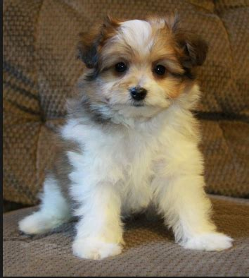 what does a shih tzu pomeranian look like what does a pomeranian shih tzu mix look like quora