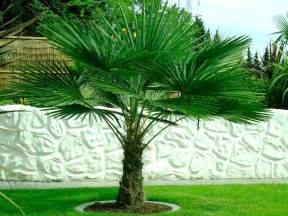 Large Patio Containers Trachycarpus Fortunei Hardy Chusan Windmill Fan Palm