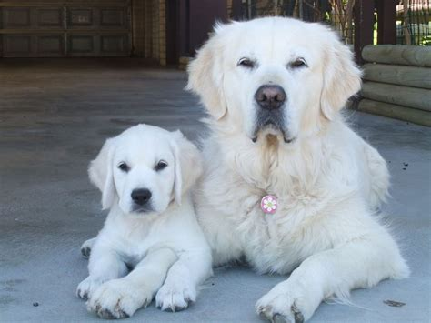 white golden retriever names 91 best images about white golden retriever on white golden