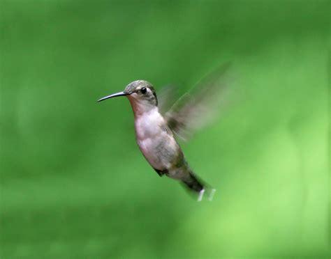 die cast pro hummingbird