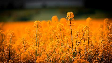 orange flowers  blur background hd orange aesthetic