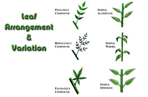 the pattern of leaf arrangement is called leaf arrangement on stem pictures to pin on pinterest