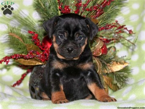 miniature rottweiler for sale 17 best images about rottweilers on puppys rottweilers and search