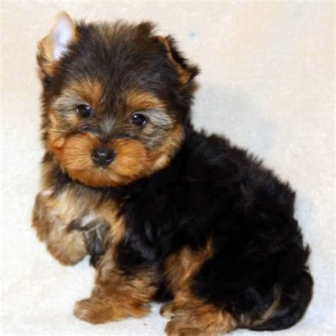 are teacup yorkies hypoallergenic image gallery small yorkies