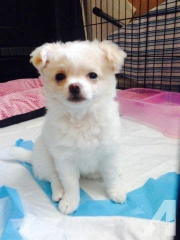 haired chihuahua and shih tzu mix shih tzu mix haired chihuahua puppy for sale for sale in concord california