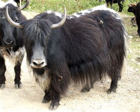 google images yak tibetan yak wild and wonderful pinterest