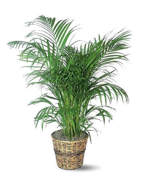 palm house plants the easiest indoor house plants that won t die on you today com