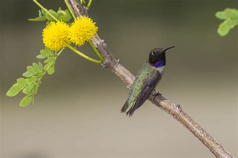 black chinned hummingbirds flock to central and west texas