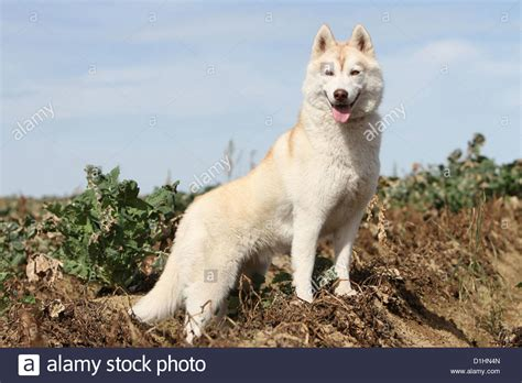 brown and white husky puppy siberian husky white and brown standing in a field stock photo royalty free