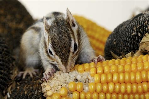 what do chipmunks eat you ll be surprised to know