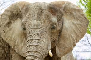 top 10 amazing huge facts about elephants most beautiful