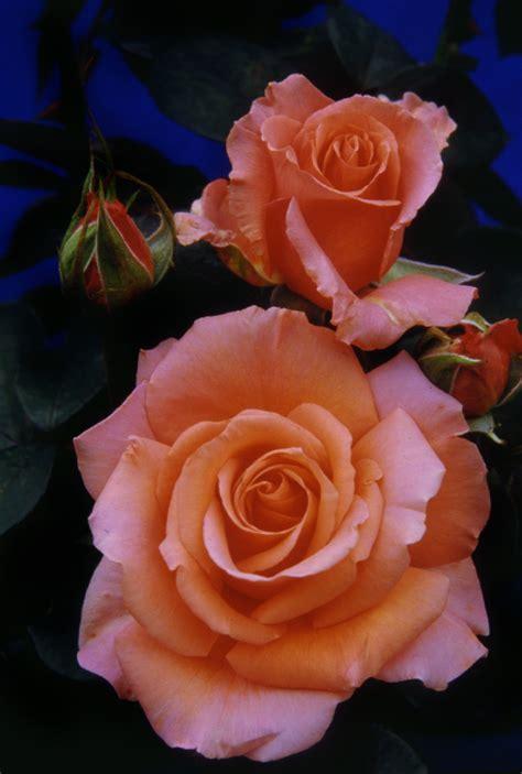 long stemmed rose hybrid tea warm wishes mm pot