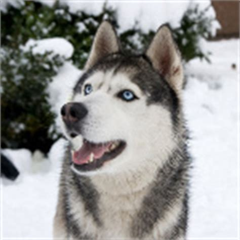 alaskan names for dogs alaskan names mystery combined