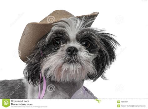 shih tzu adults shih tzu stock photo image 42268901