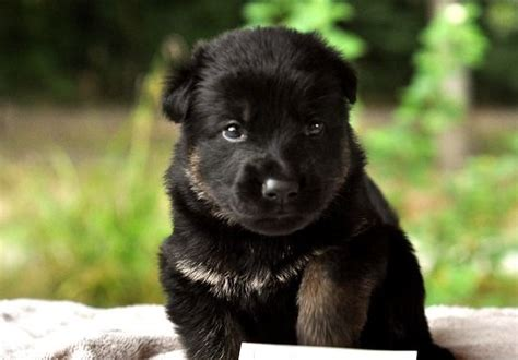 black german shepard puppy 20 tips for black german shepherd puppies breeders puppy station