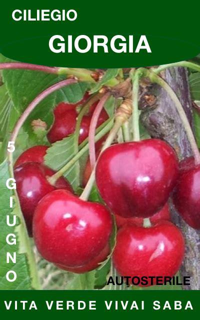 ciliegio in vaso ciliegio vaso vita verde vivai saba