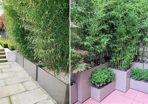 bambus als sichtschutz im kübel kann ich bambus im k 252 bel halten balkon haus garten