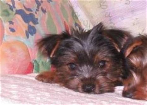 cheap yorkie puppies for sale in ga available terrier puppies for sale in florida al