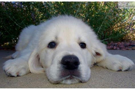 golden retriever puppy colorado has it all golden retriever puppy for sale near denver